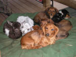 Our Dauschund and her baby puppies and kids