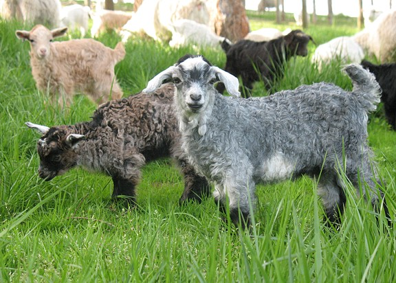 About Hawks Mountain Ranch Pygora Goats